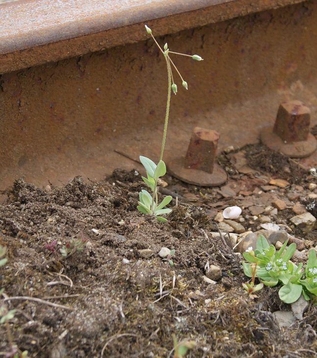 Skærmarve (Holosteum umbellatum)