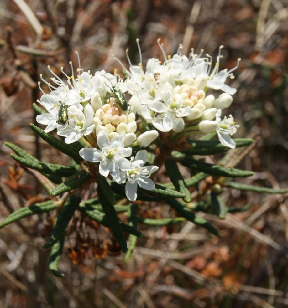 Mose-Post (Rhododendron tomentosum)