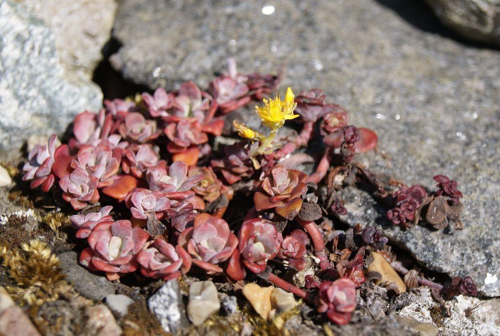 Pudret Stenurt (Sedum spathulifolium)