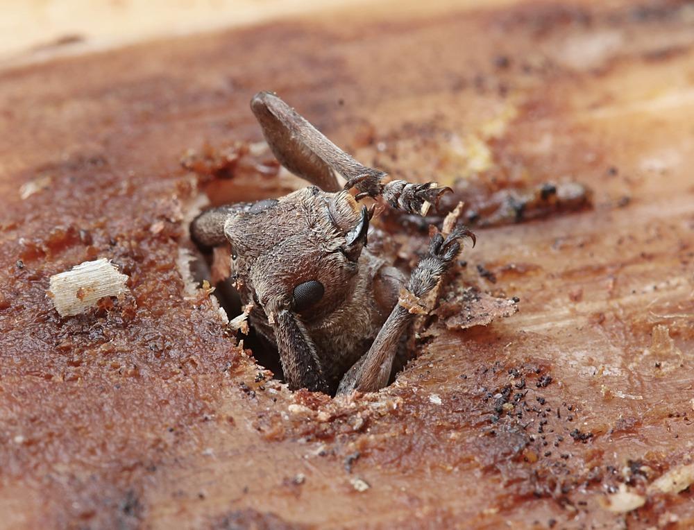 Tømmermand (Acanthocinus aedilis)