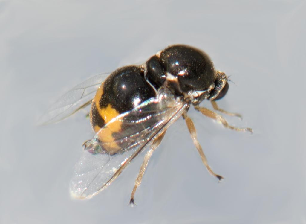 Foto/billede af Acrocera orbiculus (Acrocera orbiculus)