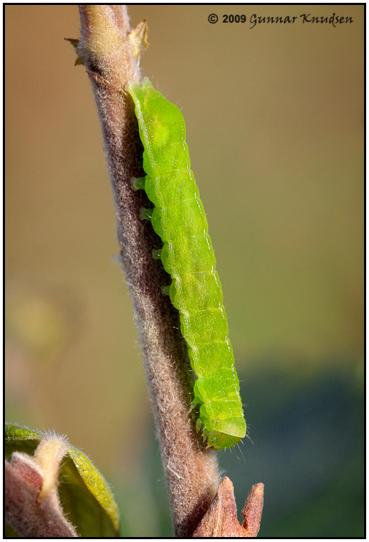 Foto/billede af Agatugle (Phlogophora meticulosa)