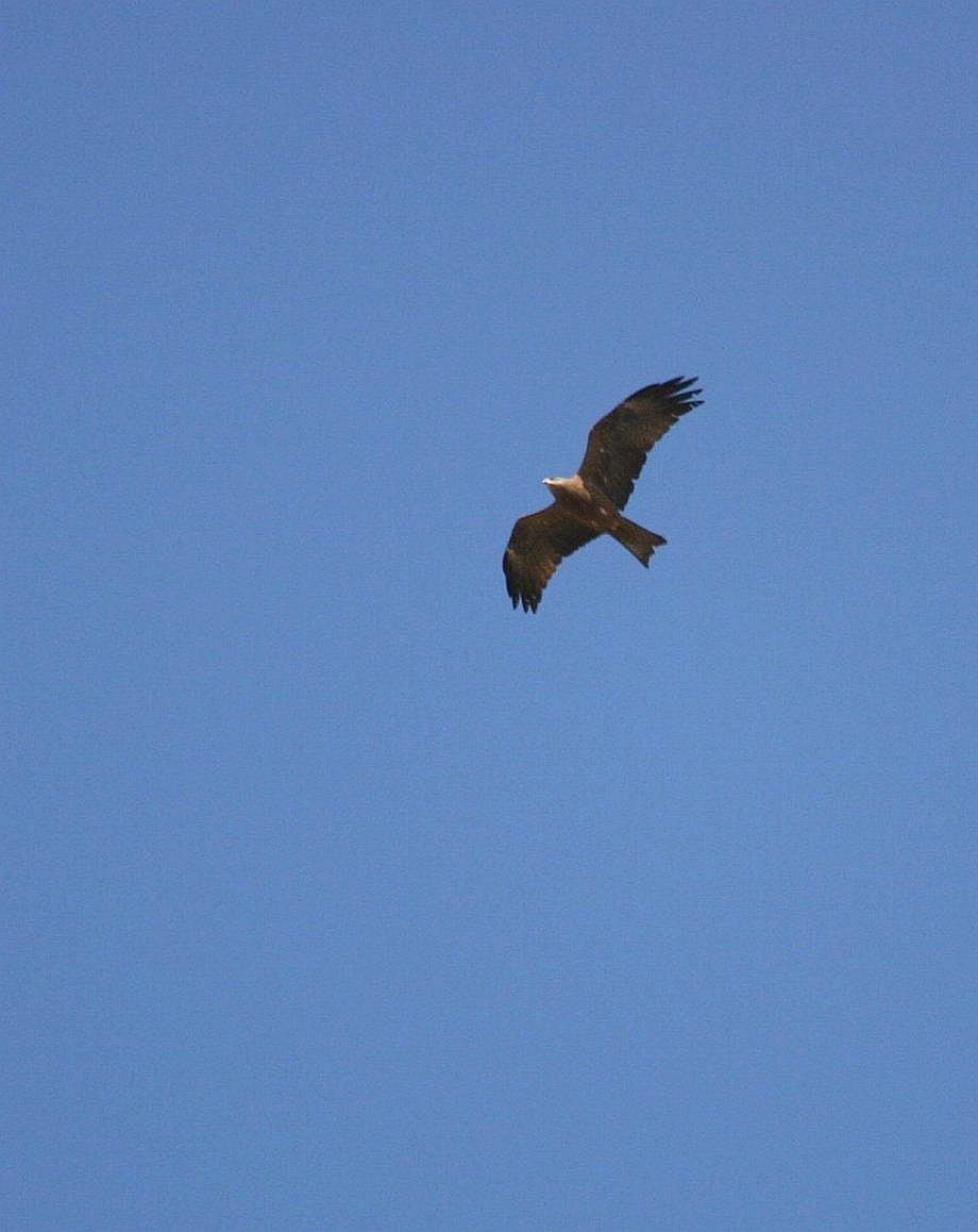 Foto/billede af Sort Glente (Milvus migrans)