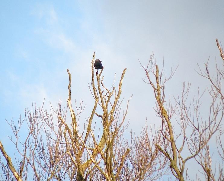 Allike (Corvus monedula)