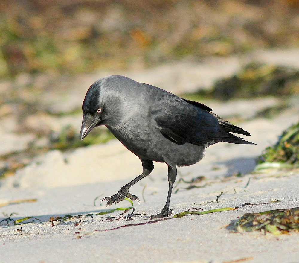 Allike (Corvus monedula)