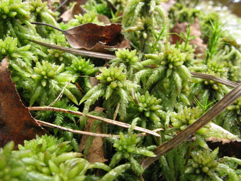 Almindelig Tørvemos (Sphagnum palustre)