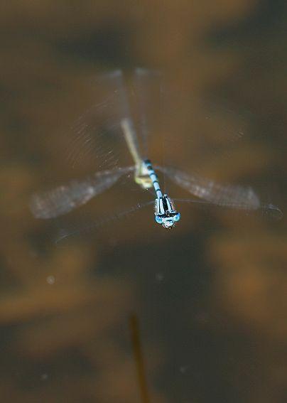 Almindelig Vandnymfe (Enallagma cyathigerum)