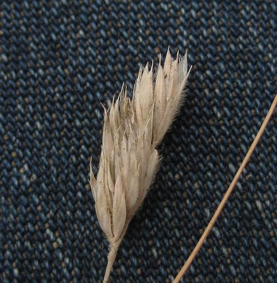 Almindelig Hundegræs (Dactylis glomerata ssp. glomerata)