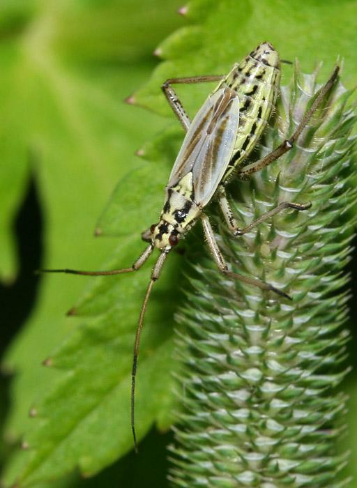 Foto/billede af Almindelig Græstæge (Leptopterna dolabrata)