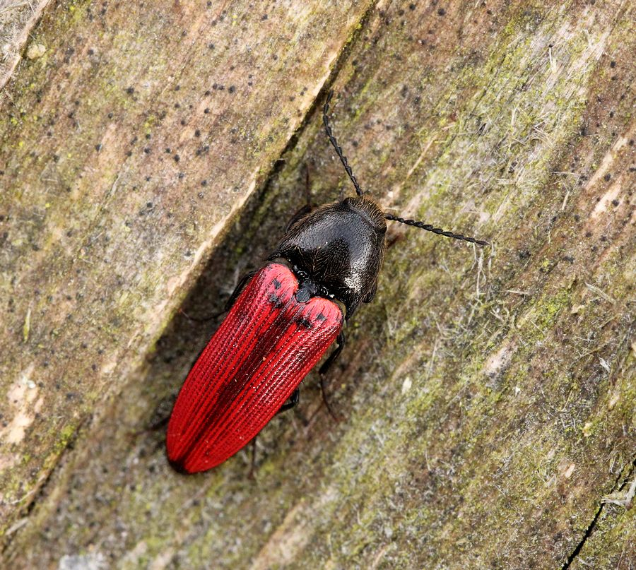 Avnbøg-Skovsmælder (Ampedus quercicola)