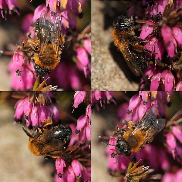 Foto/billede af Sortbrun Jordbi (Andrena nigroaenea)