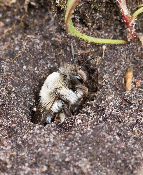 Foto/billede af Hvidbrystet Jordbi (Andrena vaga)