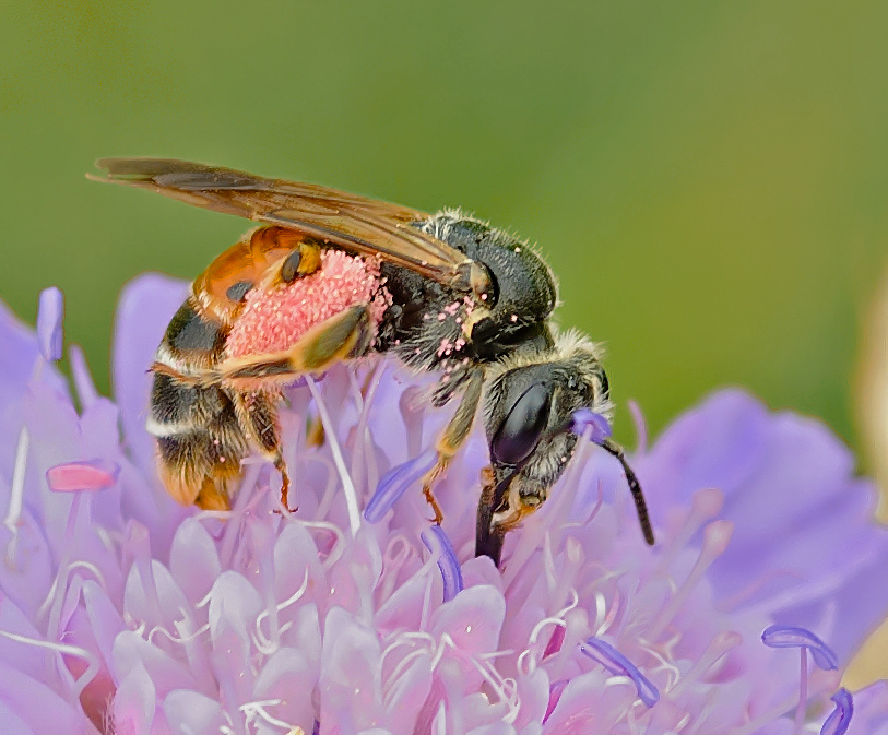 Foto/billede af Blåhatjordbi (Andrena hattorfiana)