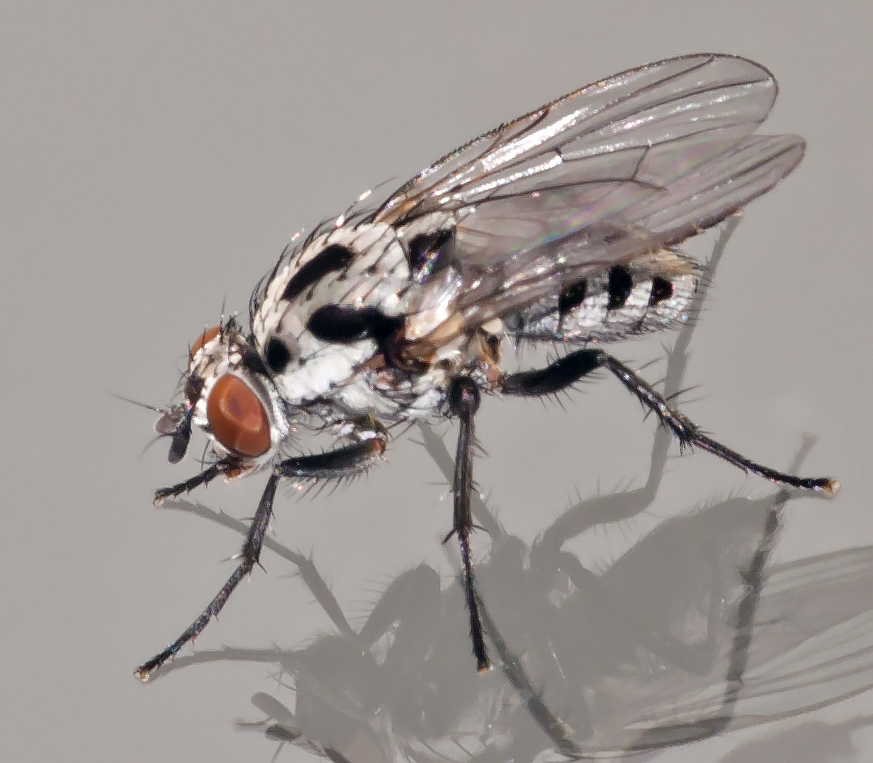 Foto/billede af Anthomyia procellaris (Anthomyia procellaris)