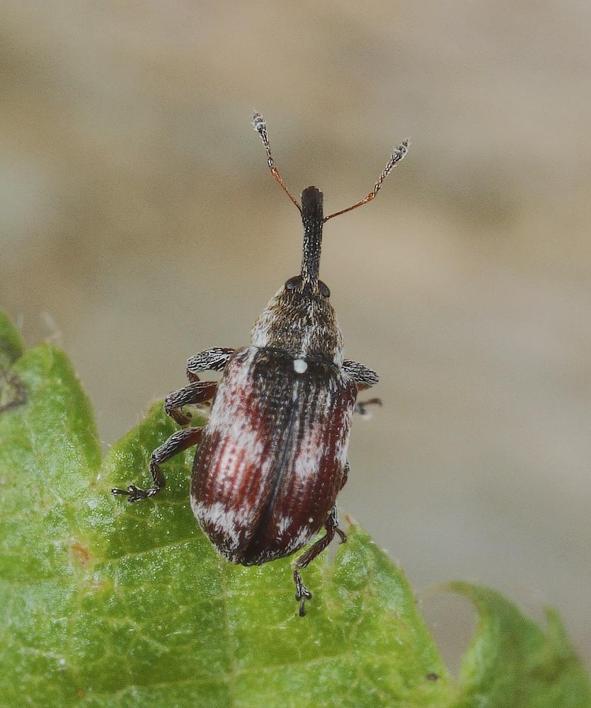 Anthonomus sorbi (Anthonomus sorbi)