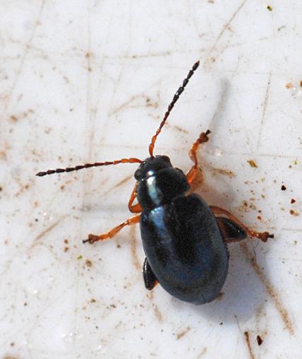 Aphthona sp. (Aphthona sp.)