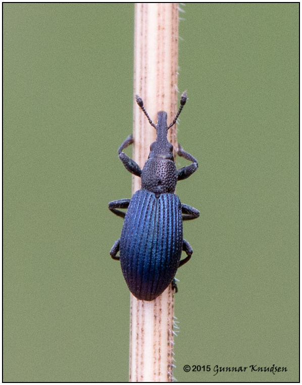 Apion violaceum (Apion violaceum)