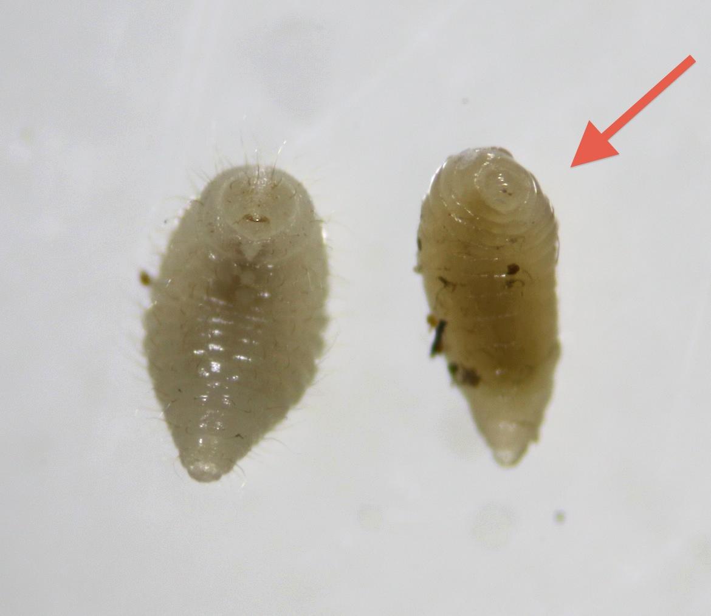 Aprostocetus craneiobiae