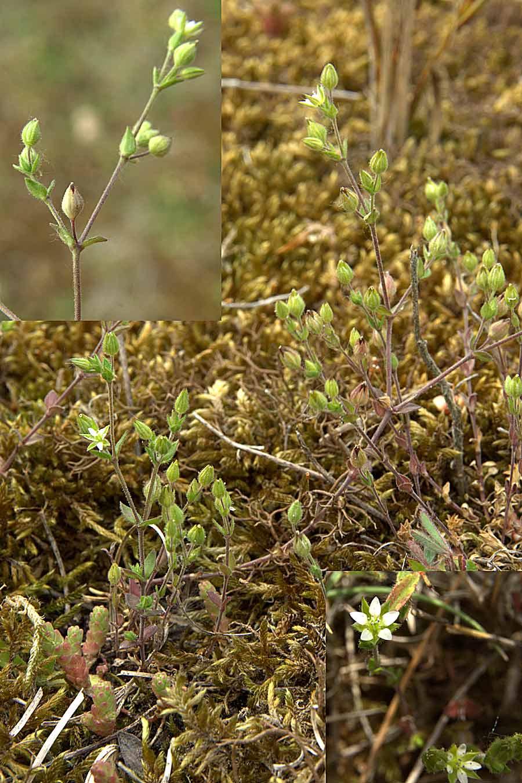 Foto/billede af Kyst-Markarve (Arenaria serpyllifolia ssp. lloydii)
