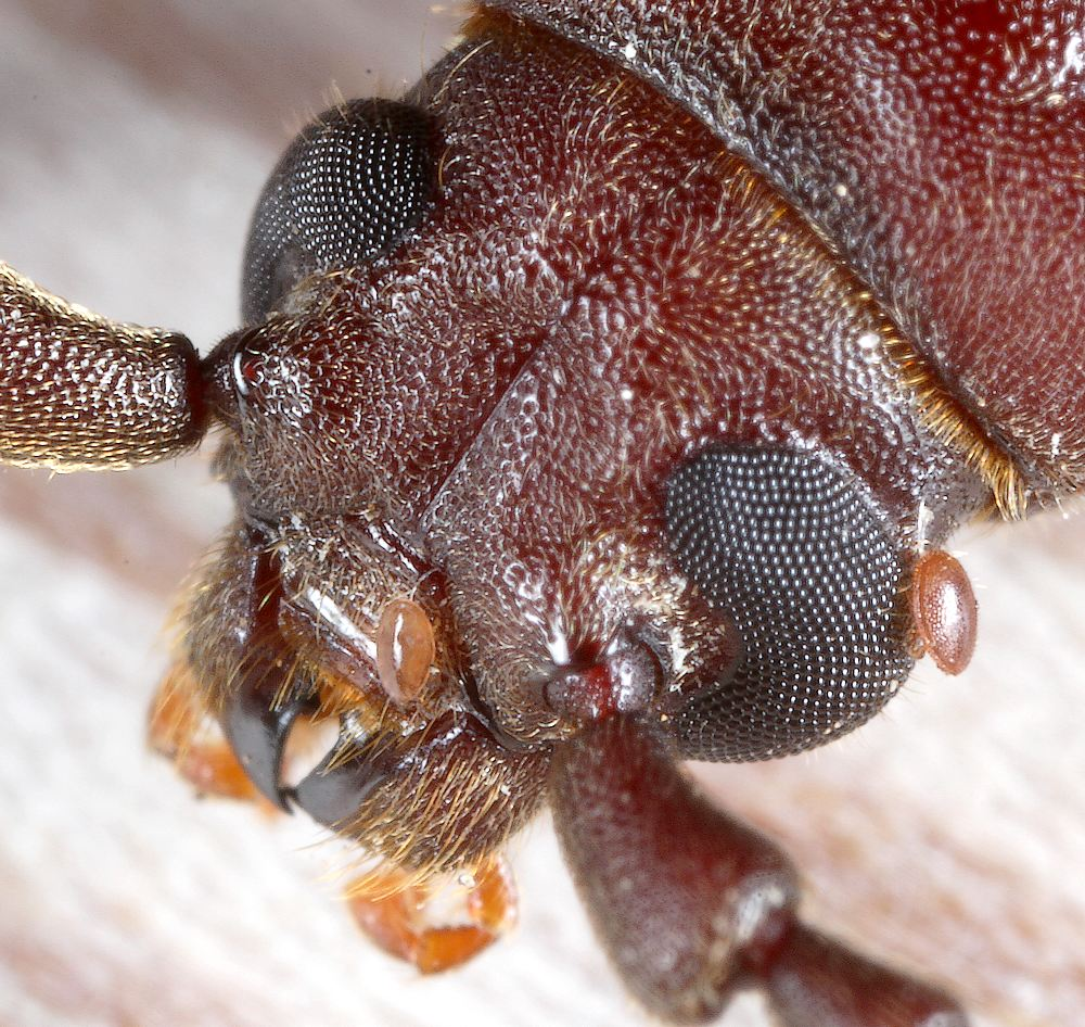 Brun Barkbuk (Arhopalus rusticus)