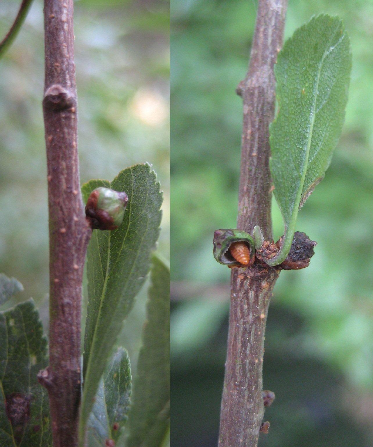 Asphondylia pruniperda