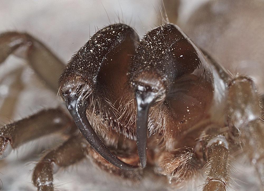 Nordlig Fugleedderkop (Atypus affinis)