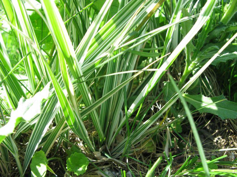 Båndgræs (Phalaris arundinacea var. picta)