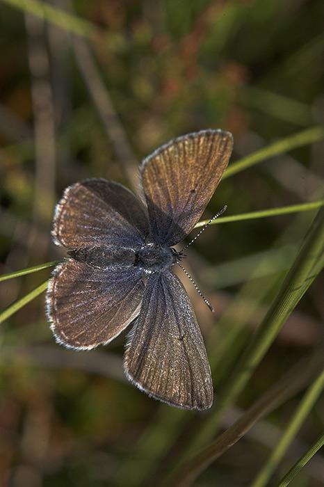 Bølleblåfugl (Agriades optilete)