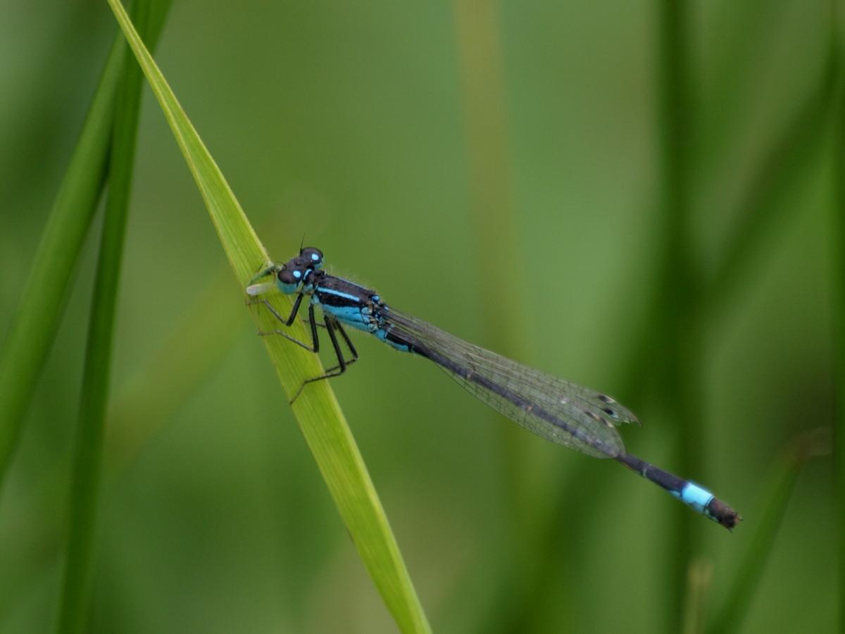 Stor Farvevandnymfe (Ischnura elegans)