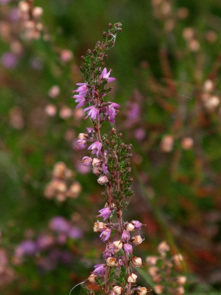 Hedelyng (Calluna vulgaris)