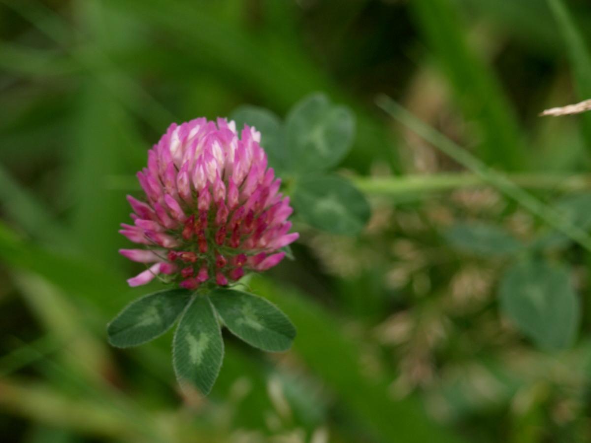 Rød-Kløver (Trifolium pratense)