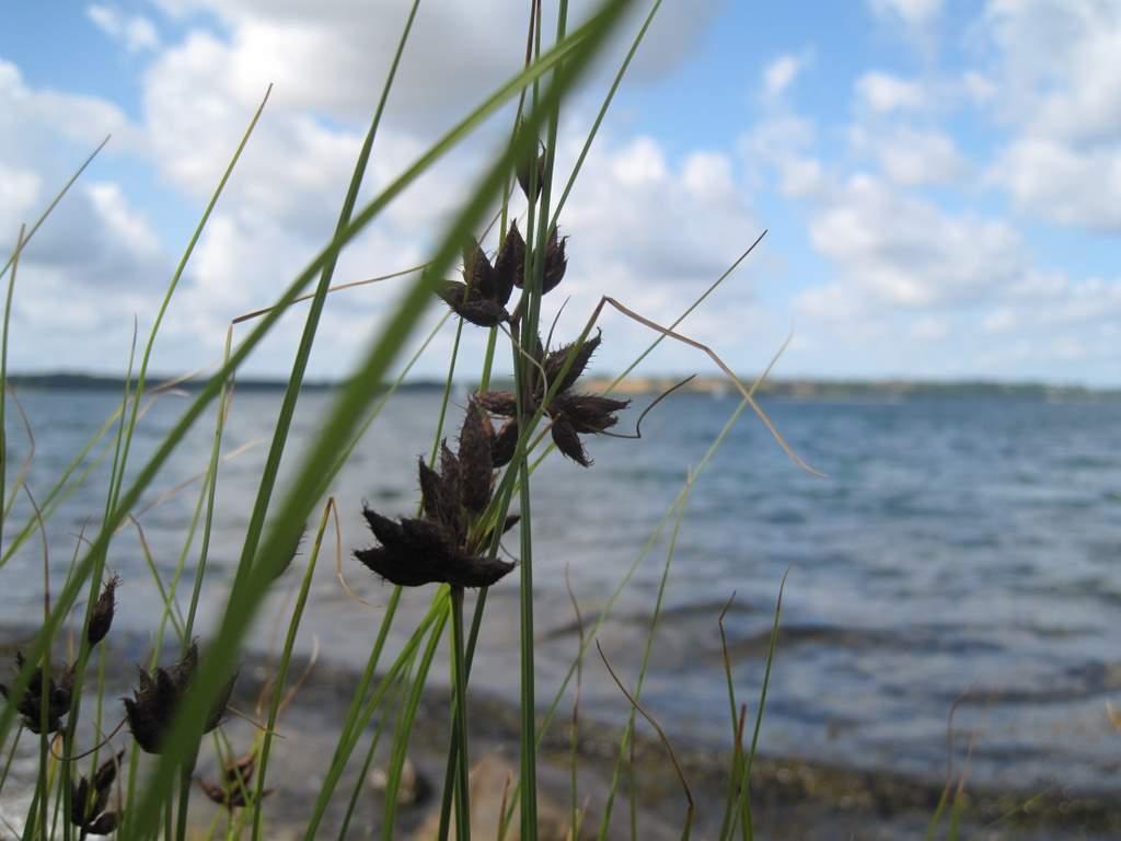 Strand-Kogleaks (Schoenoplectus maritimus)