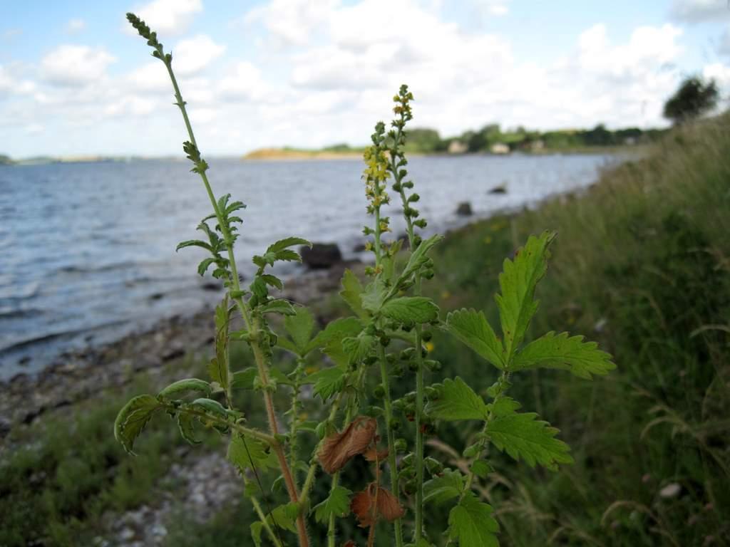 Almindelig Agermåne (Agrimonia eupatoria)