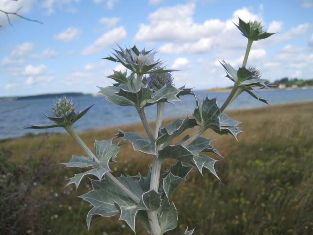 Strand-Mandstro (Eryngium maritimum)