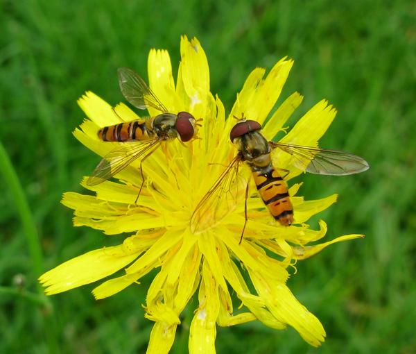Foto/billede af Dobbeltb�ndet svirreflue (Episyrphus balteatus)