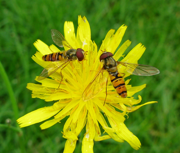 Foto/billede af Dobbeltbåndet svirreflue (Episyrphus balteatus)