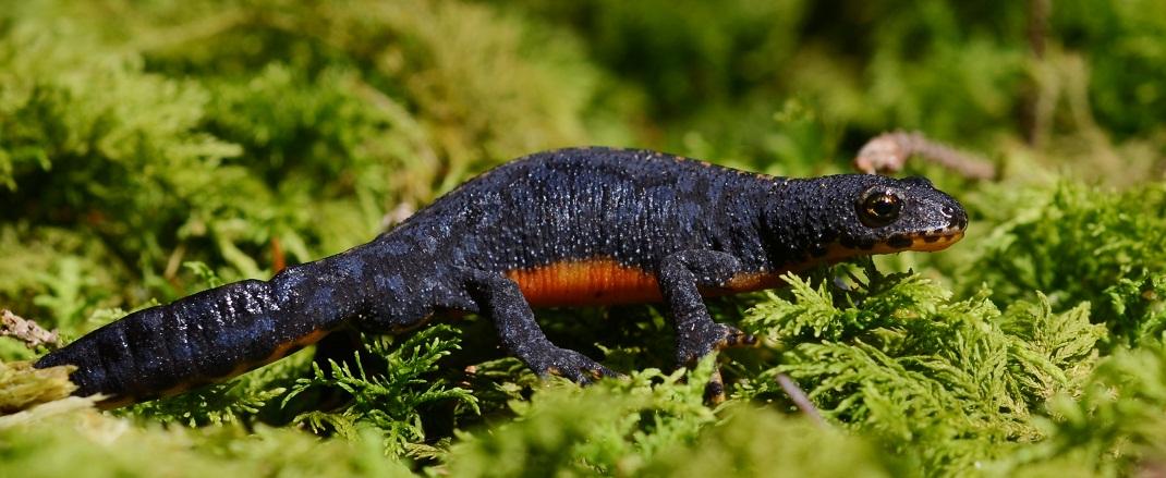Foto/billede af Bjergsalamander (Ichthyosaura alpestris)