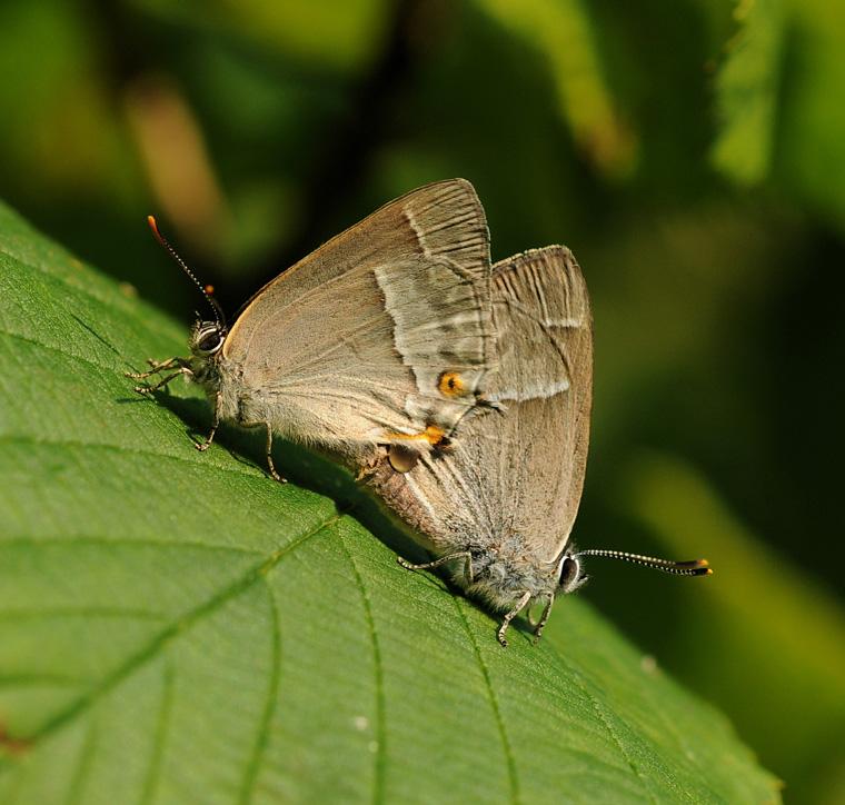 Foto/billede af Blåhale (Favonius quercus)