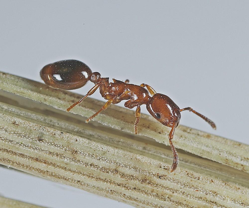 Blank Gæstemyre (Formicoxenus nitidulus)