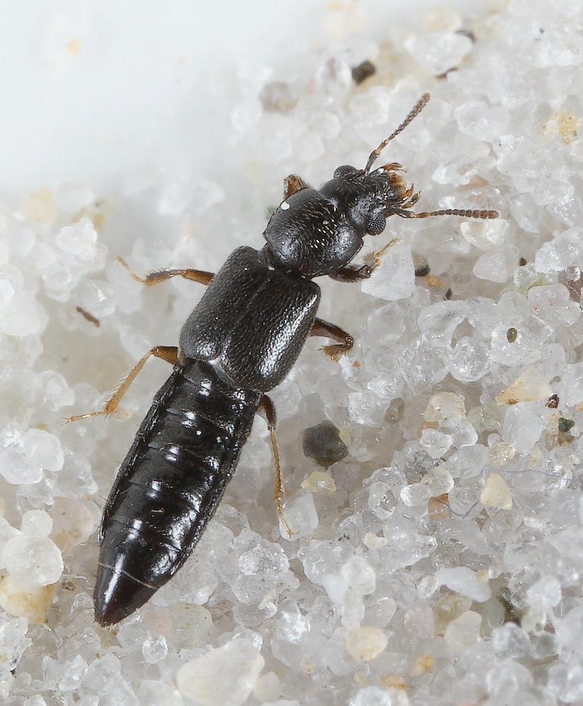 Bledius subterraneus