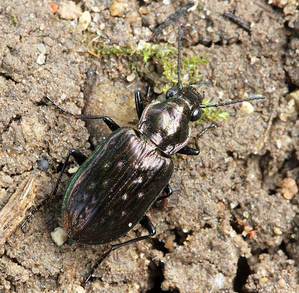 Grubeløber (Blethisa multipunctata)