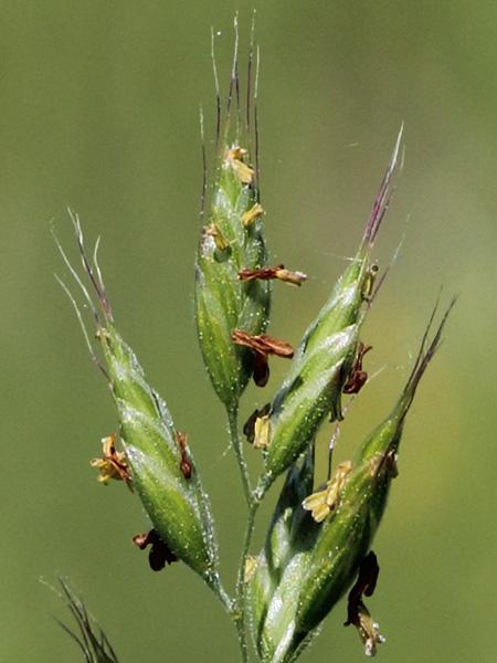 Blød Hejre (Bromus hordeaceus ssp. hordeaceus)