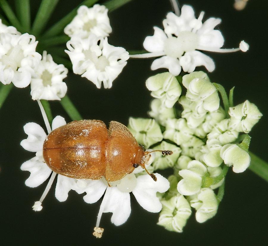 Blomsterkøllebille