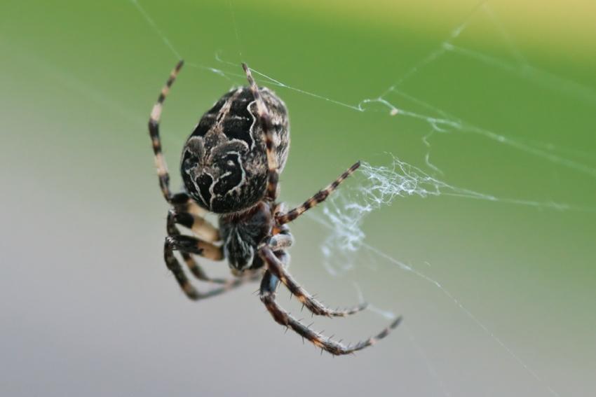 Foto/billede af Bolværksedderkop (Larinioides sclopetarius)