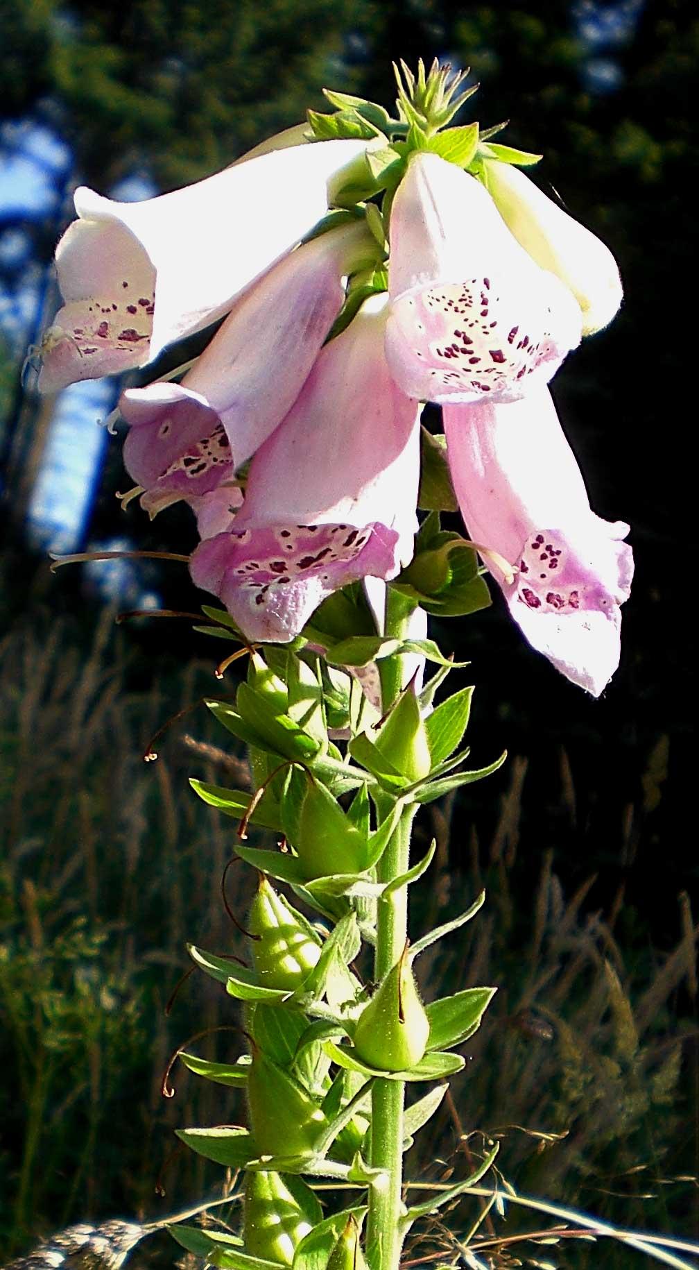 Foto/billede af Almindelig Fingerbøl (Digitalis purpurea)