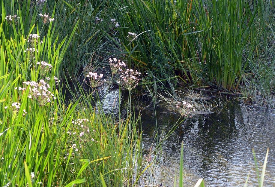 Brudelys (Butomus umbellatus)