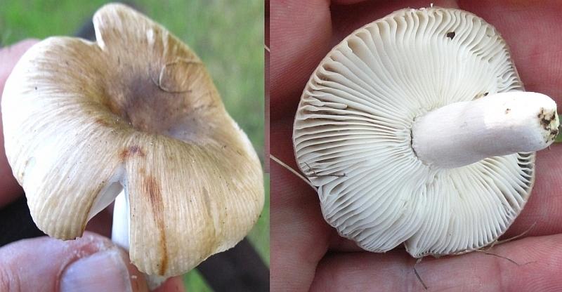 Brun Kam-Skørhat (Russula sororia)