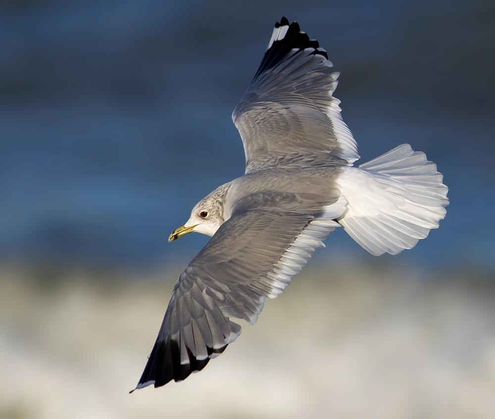 Foto/billede af Stormmåge (Larus canus)