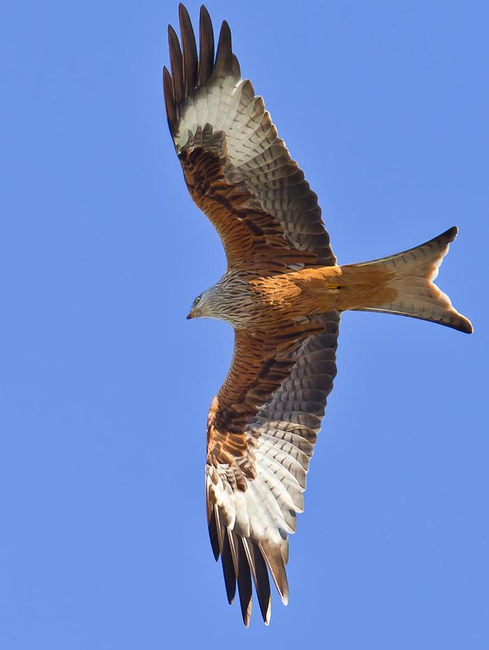 Foto/billede af Rød glente (Milvus milvus)