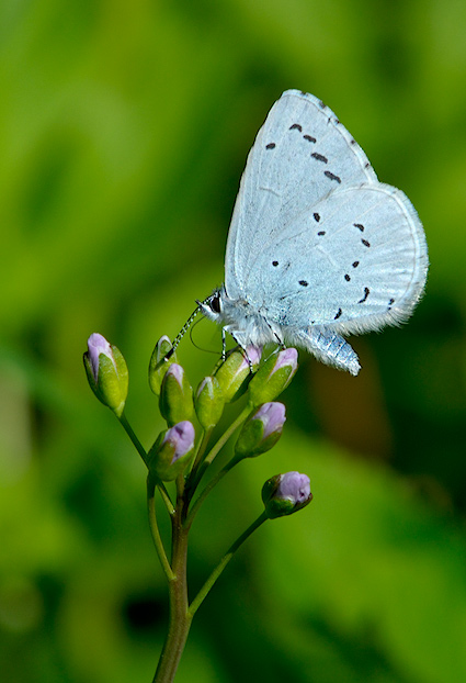 Foto/billede af Skovblåfugl (Celastrina argiolus)